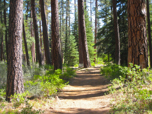 Old Growth ponderosa forest split by single track in Shevlin Park. Nice!