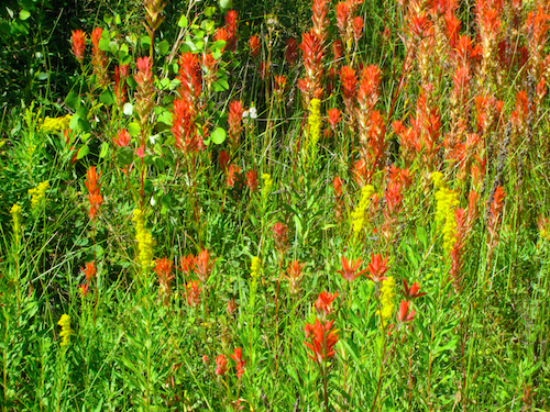 Wild Indian paintbrush near the beginning of the Shevlin Park Loop trail.
