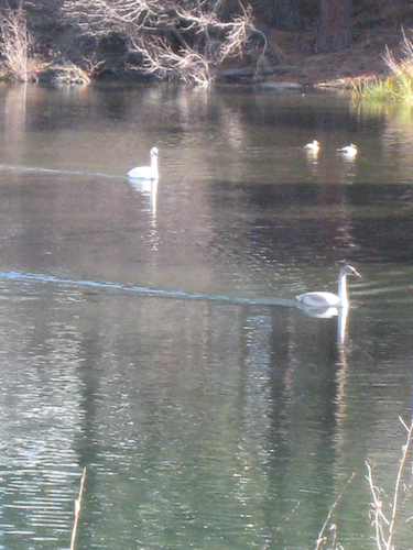 Swans in the Deschutes River in Bend, Oregon