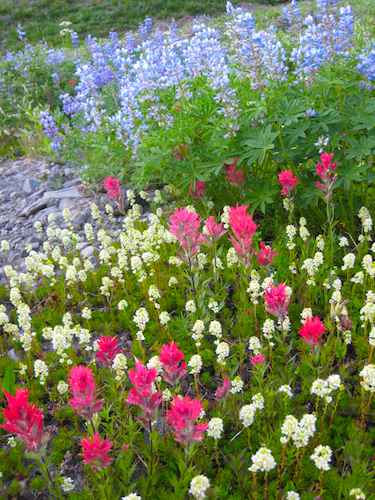 Wildflowers near Three Fingered Jack