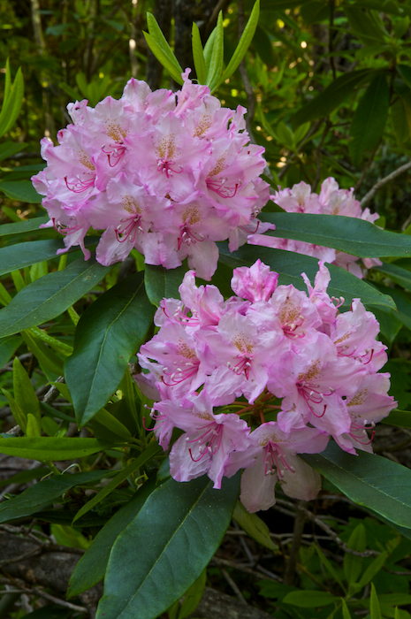 Wild Oregon Rhododendrons